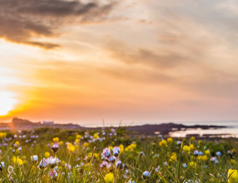 Guernsey flowers
